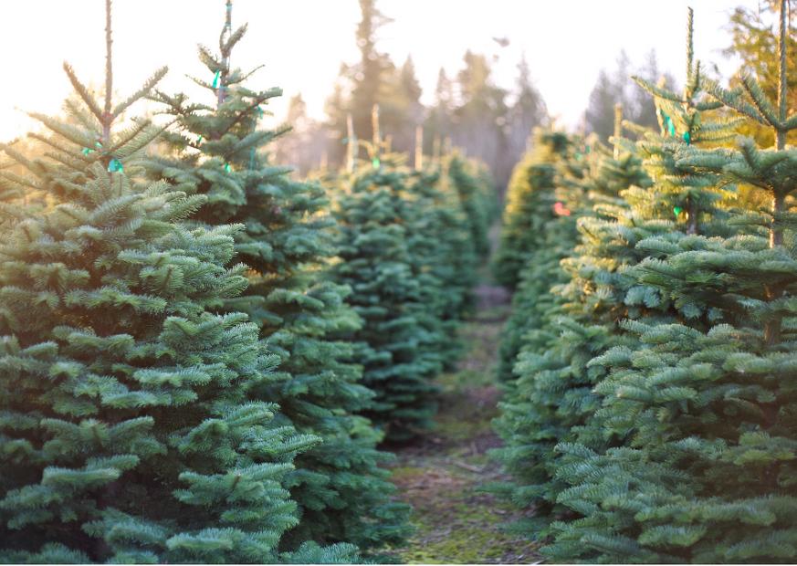 local Christmas tree farm